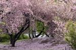 sakura+1.jpg